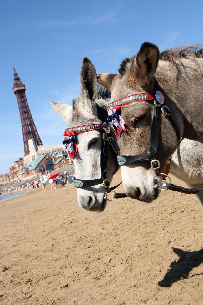 Donkeys on the beach at Blackpool, in front of the tower