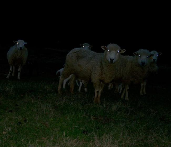 Motorists have been told to remain vigilant for wandering sheep on rural roads after two were killed over the weekend