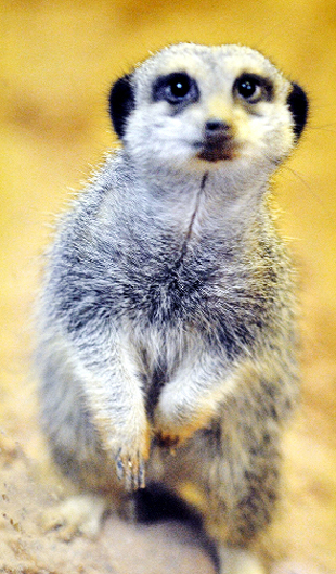 CRUELTY STORM: One of the meerkats