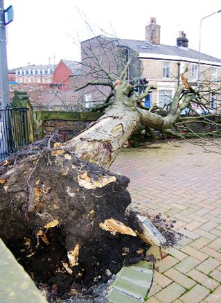 TIMBER The fallen tree at Preston New Road, Blackburn