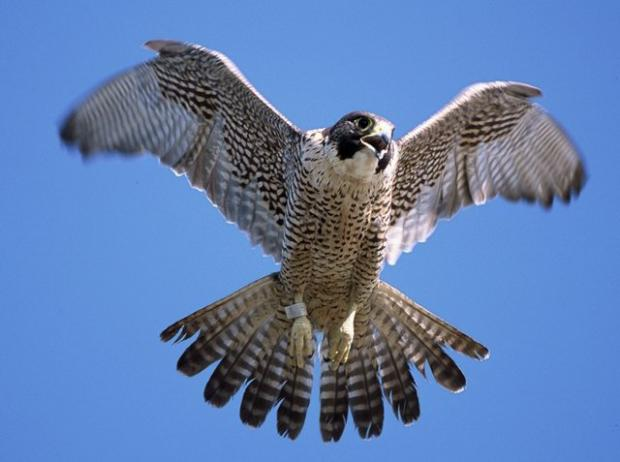 A peregrine in full flight