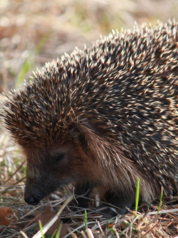 Hedgehogs need your help.