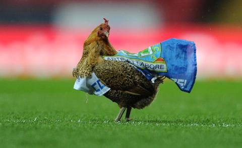The chicken released on to the pitch at the start of the Rovers v Wigan match.
