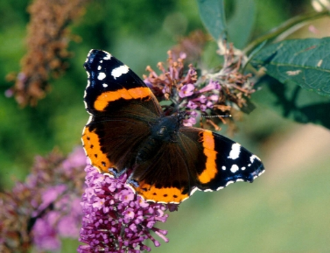 PERIL Butterflies need your help