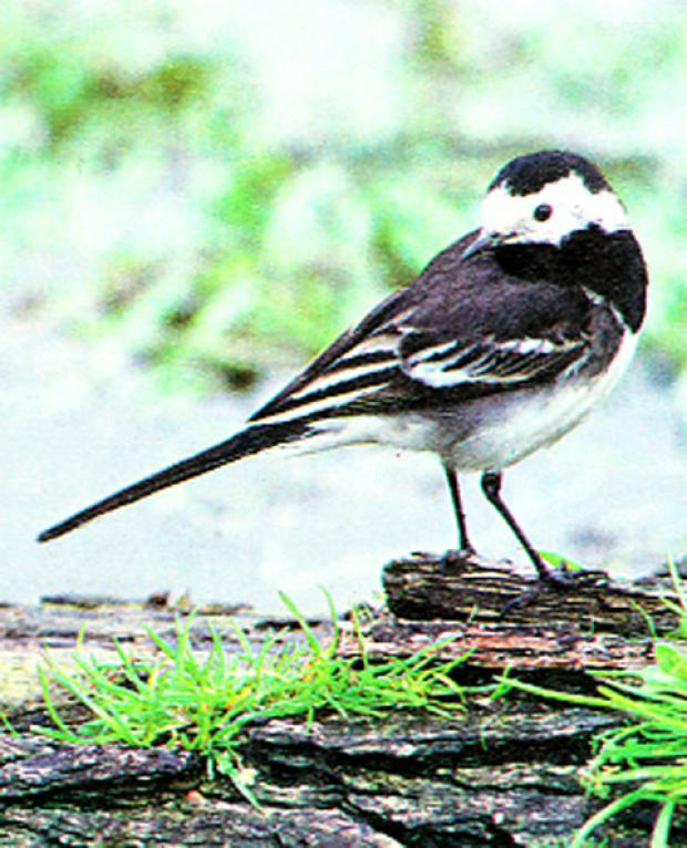 The pied wagtail has adapted to life in towns