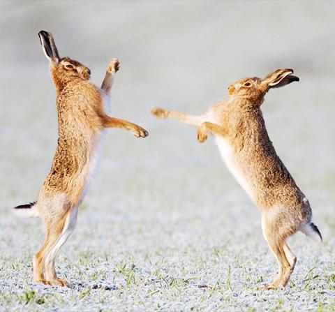 Hares are making a comeback