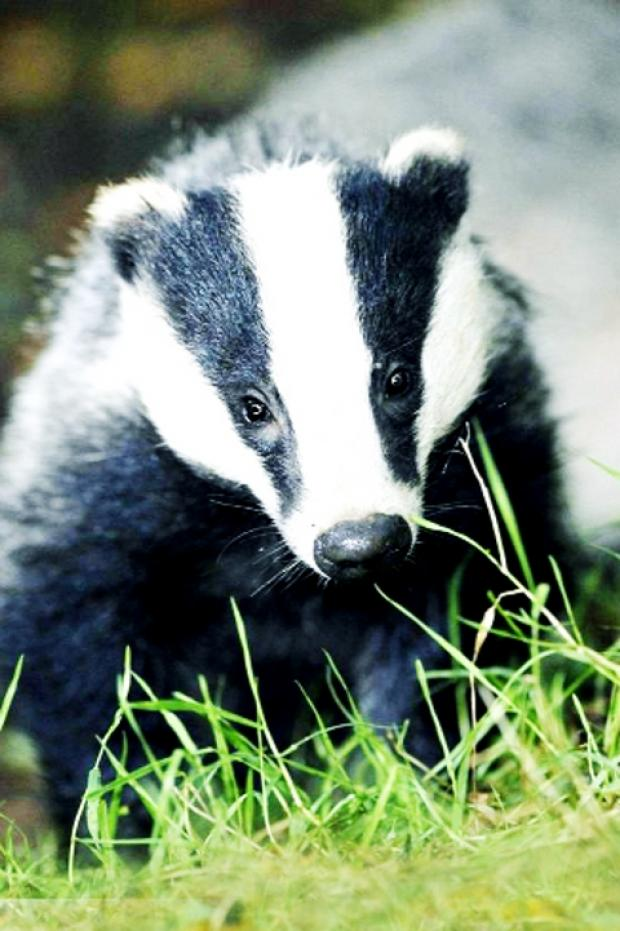 Badgers cull can stop bovine TB spreading to Lancashire