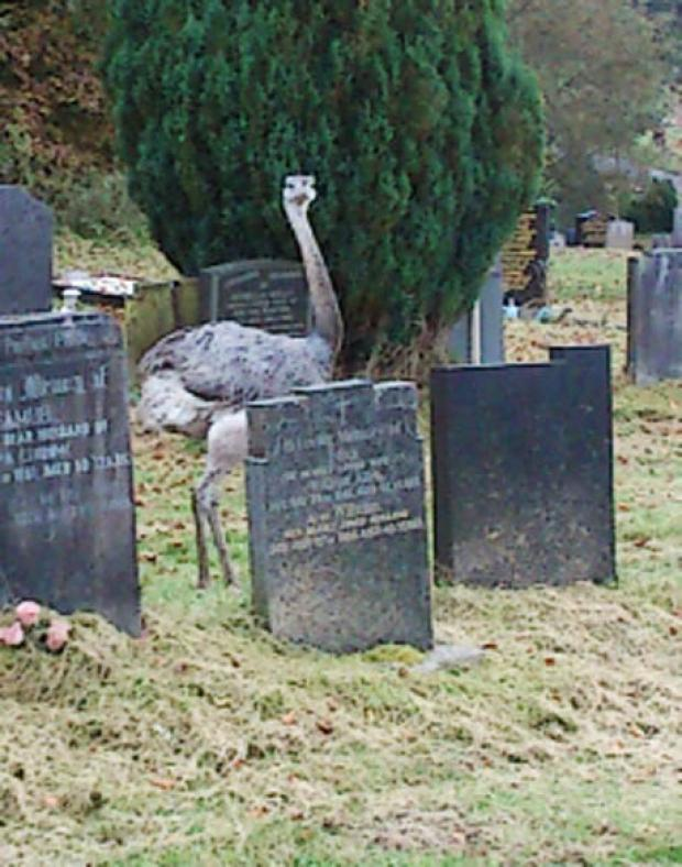 'Ostrich' found grazing in Pleasington Cemetery