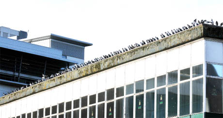 WAITING IN WINGS Pigeons roosting on Blackburn's vacant old market