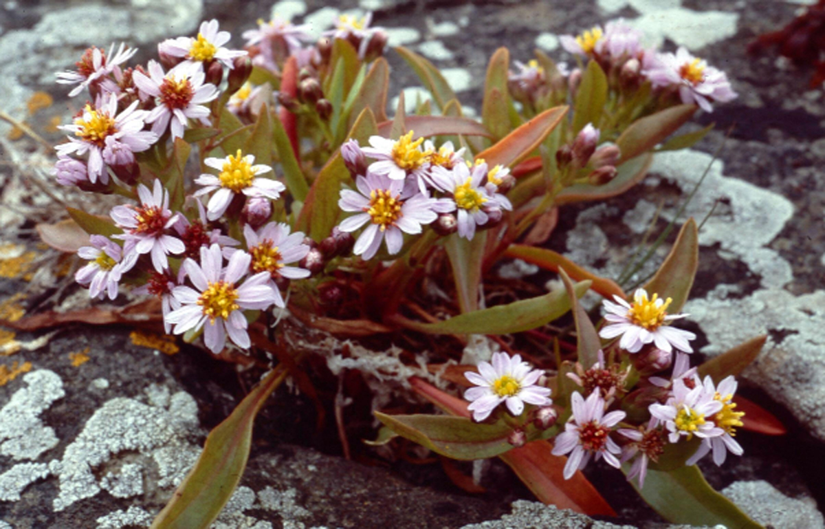 The Sea Aster variety of Michaelmas daisy
