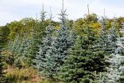 Rishton set to get third living Christmas tree