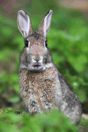 Dogs maul rabbit to death in Colne and Nelson RUFC's Holt House