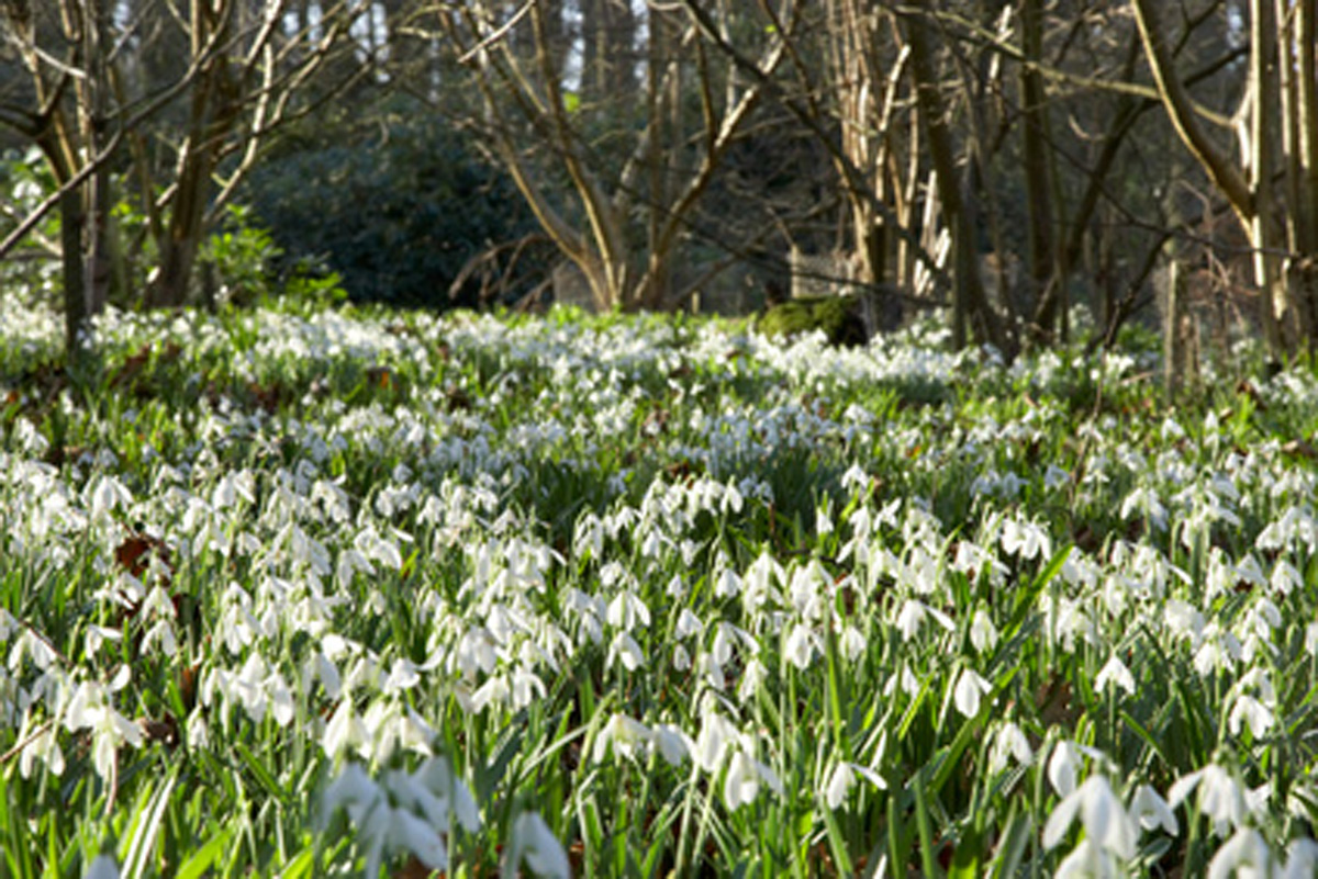TO COLDLY GO Snowdrops