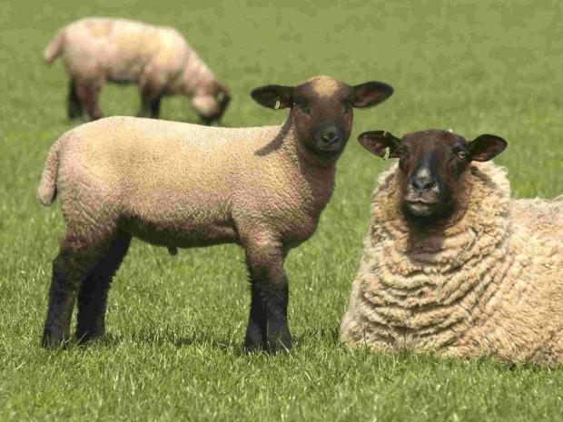 Lancashire Telegraph: Sheep rustlers from Yorkshire stealing from Pendle flocks