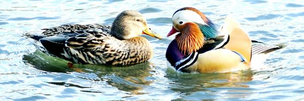 New Burnley home for colourful ducks