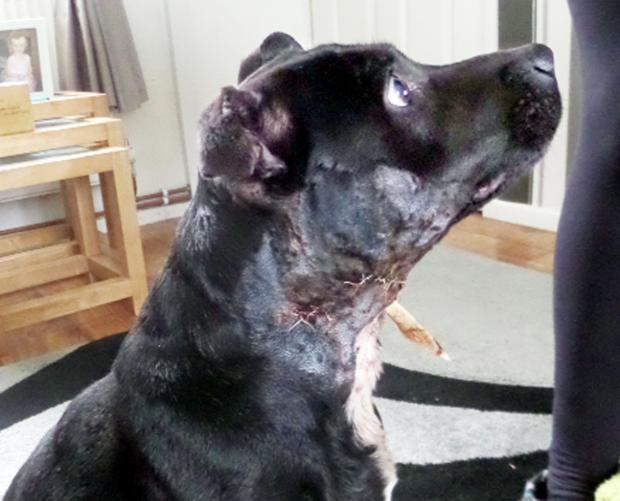 The dog dumped after suffering horrific injuries to its neck