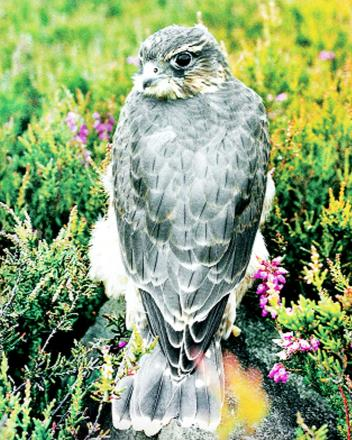 Britiain's smallest bird of prey the merlin is thriving in E Lancs
