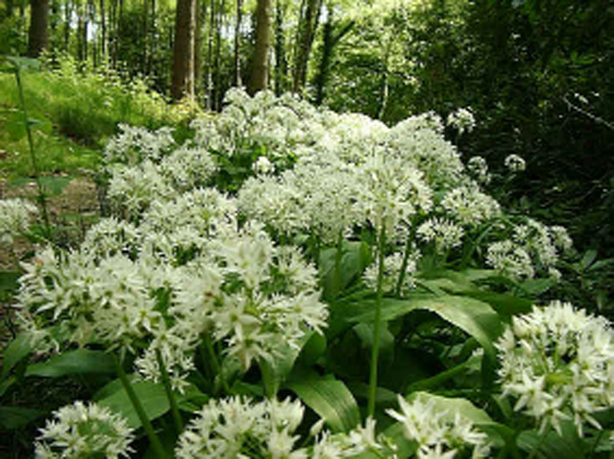 STRONG SMELL Ramsons plants