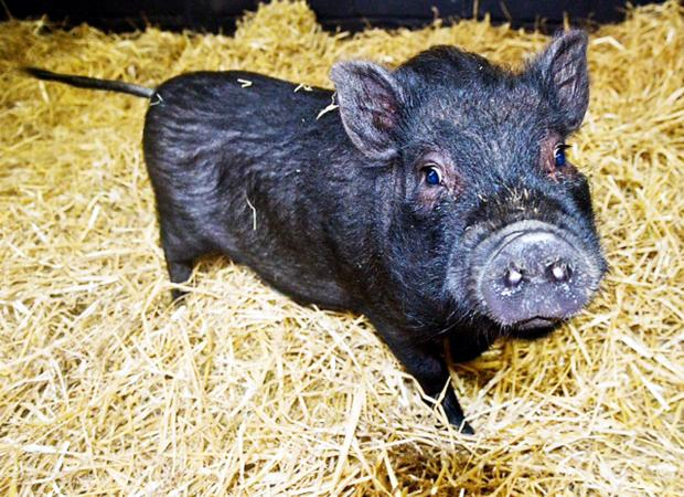 Rossendale animal sanctuary issues 'micro pig' warning