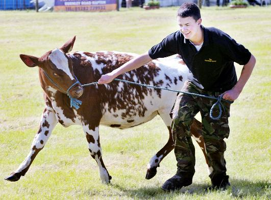 Some of the cattle were a bit skittish while entering the arena for the pre-show parade at Great Harwood Agricultural Show. Here Oliver Partington wrestles with his charge.