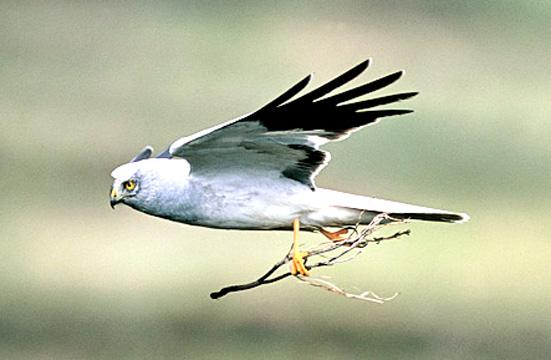 Lancashire Telegraph: Hen Harriers produce chicks in East Lancashire