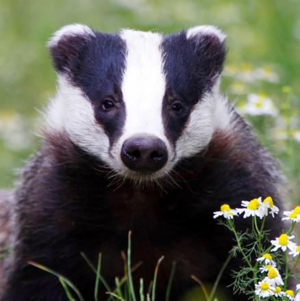 Badger group welcomes East Lancs cruelty sentences