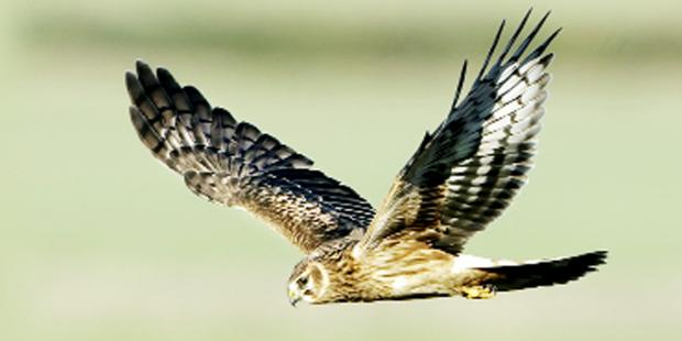 Lancashire Telegraph: People of East Lancashire are being asked to vote for the Skydancer scheme to save hen harriers