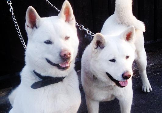 A pair of Akitas, similar to those involved in the incident