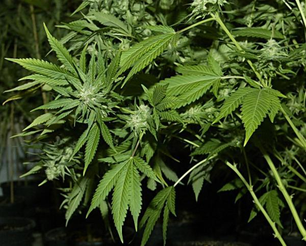 Accrington gardener's cannabis discovered