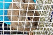 CONCERN: The RSPCA contacted police to help seize the animals after they had a tip-off  reporting that the rabbits were not being treated properly