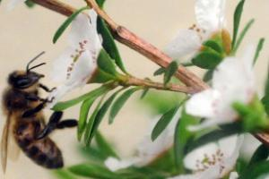 Manuka honey hailed for ability to keep medical devices free from infection