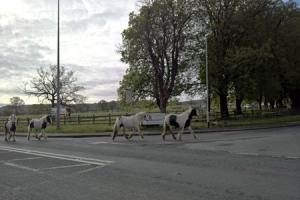 Six ponies loose on the A59 near Langho. Taken by Garry Cook