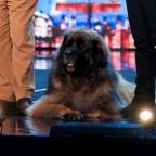 Lancashire Telegraph: Hagrid the 13-stone dog will attempt to break a world record on BGMT
