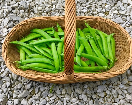 The first crop of peas from Vix allotment
