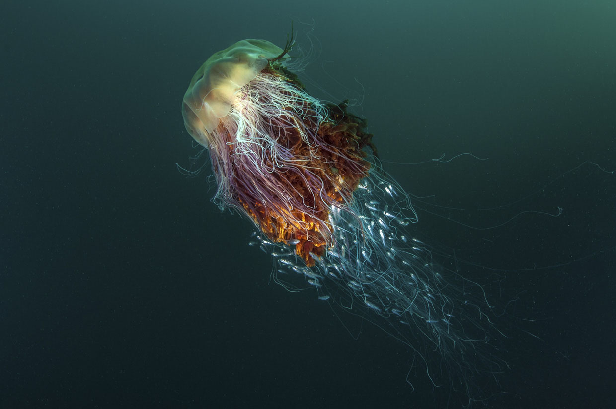 Lion's mane jelly fish by George Stoyle, Coast and Marine category winner plus overall winner 2016
