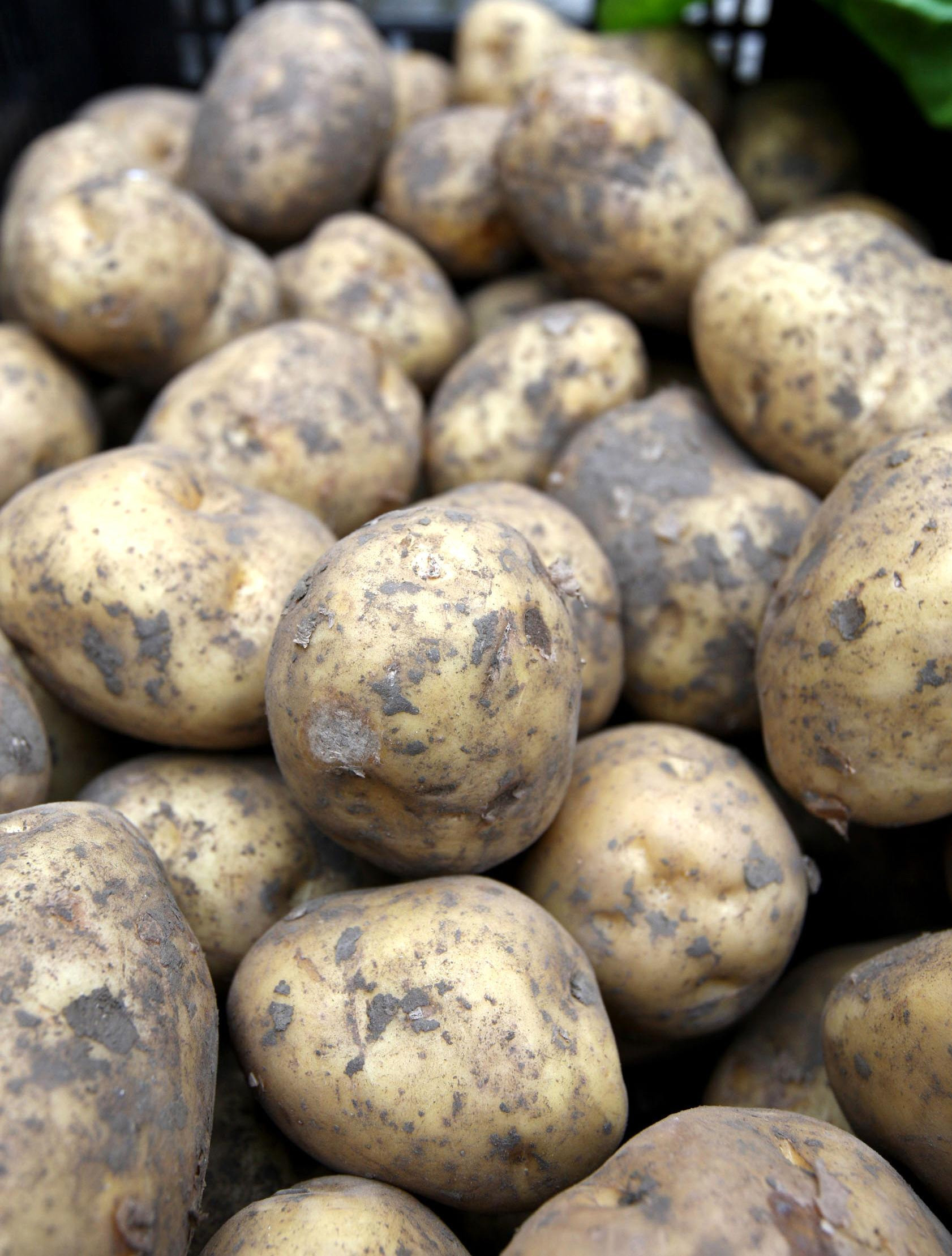Embargoed to 0001 Friday May 04 ..File photo dated 24/11/07 of potatoes, which are the most popular crop for gardeners and allotment holders growing their own food, according to the first survey of its kind since the Second World War. PRESS ASSOCIATION Ph