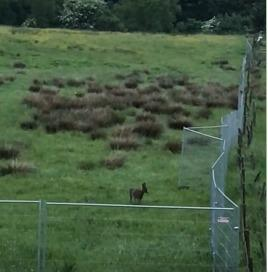 A deer in the fenced off area of the housing development